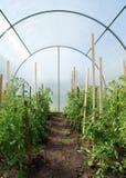 Tomaten in een broeikas Stock Foto's