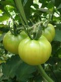 Tomaten in een broeikas Royalty-vrije Stock Foto's