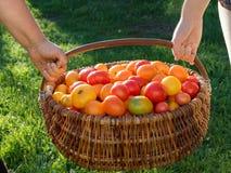 Tomaten in een houten mand op een gras Stock Foto's