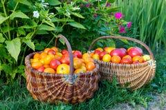 Tomaten in een houten mand op een gras Royalty-vrije Stock Fotografie