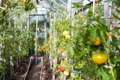 Tomaten in een serre Stock Foto