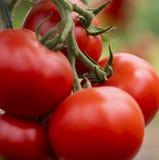 Tomaten in een serre tuinbouw stock fotografie