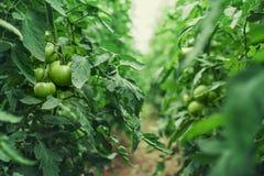 Tomaten in een serre tuinbouw groenten stock fotografie