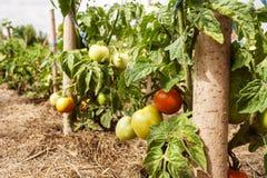 Tomaten in einem Gemüsegarten Stockfoto