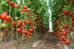 Tomaten in einem Gewächshaus Stockbild