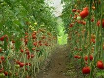 Tomaten in einem Gewächshaus Lizenzfreie Stockfotografie