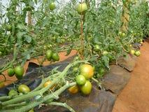 Tomaten in einem Gewächshaus in Kenia lizenzfreies stockbild