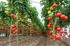 Tomaten in einem Gewächshaus Stockfoto