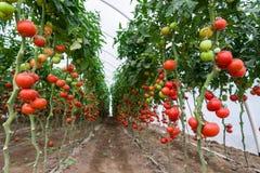 Tomaten in einem Gewächshaus Stockfotos