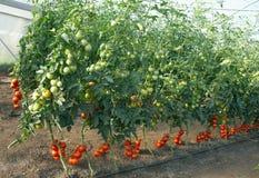 Tomaten in einem Treibhaus Lizenzfreies Stockfoto