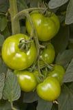 Tomaten in einem Treibhaus Stockfotografie