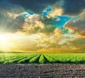 Tomaten Feld und Sonnenuntergang in den drastischen Wolken stockfotografie