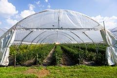 Tomaten-Feld unter Abdeckung Stockfotos
