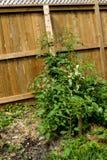 Tomaten-Gelb-Blatt-Locken-Virus TYLCV auf Tomate stockbild