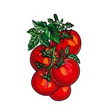 Tomaten getrennt auf weißem Hintergrund Der kleine Junge unzufrieden gemacht Lizenzfreies Stockbild