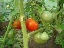 Tomaten in het dorp in de tuin Stock Afbeelding