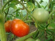 Tomaten in het dorp in de tuin Royalty-vrije Stock Afbeeldingen