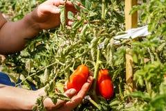 Tomaten Het plukken tomaten in een tuintuin Tuin met een oogst van tomaten Verse product-groenten vegetables Royalty-vrije Stock Fotografie