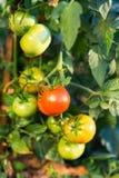 Tomaten im Garten lizenzfreies stockbild
