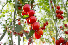 Tomaten im Garten, Gemüsegarten mit Anlagen von roten Tomaten Reife Tomaten auf einer Rebe, wachsend auf einem Garten Rote Tomate Lizenzfreies Stockfoto