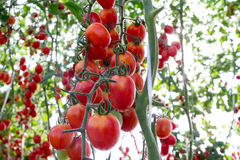Tomaten im Garten, Gemüsegarten mit Anlagen von roten Tomaten Reife Tomaten auf einer Rebe, wachsend auf einem Garten Rote Tomate Lizenzfreie Stockbilder
