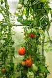 Tomaten im Gewächshaus Stockbilder