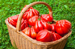 Tomaten im Korb Stockfotos