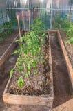 Tomaten in Juni Stock Afbeeldingen
