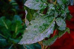 Tomaten lämnar sjukdomen, mjöldagg i pulverform Royaltyfria Foton