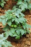 Tomaten in moestuin Stock Afbeelding