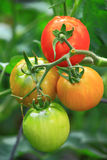 Tomaten-Nahaufnahme Lizenzfreies Stockbild