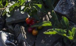 Tomaten ontop van puin en as Royalty-vrije Stock Fotografie
