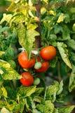 Tomaten op boom Stock Afbeelding