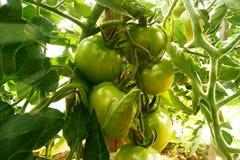 Tomaten op boom Stock Afbeeldingen