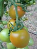 Tomaten op de serre van Almeria. Stock Afbeelding