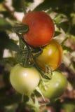 Tomaten op de Wijnstok Stock Fotografie
