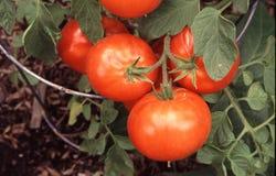 Tomaten op de wijnstok Stock Afbeeldingen