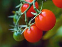 Tomaten op de Wijnstok Royalty-vrije Stock Fotografie