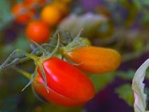 Tomaten op de Wijnstok Stock Foto