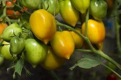 Tomaten op een tak. Stock Foto