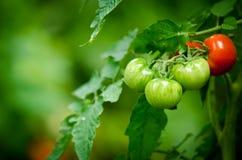 Tomaten op een tak Stock Fotografie