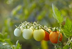 Tomaten op tak Royalty-vrije Stock Afbeeldingen