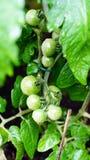 Tomaten op wijnstok Royalty-vrije Stock Afbeeldingen