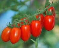 Tomaten reif Lizenzfreies Stockfoto
