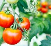Tomaten reifen im Garten stockfoto