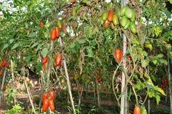 Tomaten San-Marzano Stockfotos
