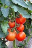 Tomaten in serre Royalty-vrije Stock Foto's