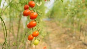 Tomaten in serres stock foto's