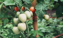 Tomaten sind im Garten wachsend Stockfoto