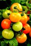 Tomaten sind so köstlich Stockbilder